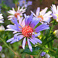 Blue Asters 3 by Duane McCullough
