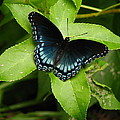 Blue Beauty by Lisa Reid