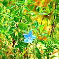 Blue Belle by Darrell Clakley