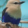 Blue-bellied Roller by Ken Keener