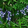 Blue Bells by Aimee L Maher ALM GALLERY