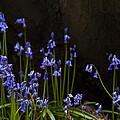 Blue Bells by Svetlana Sewell