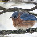 Blue Bird by David Arment
