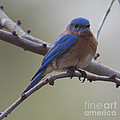 Blue Bird Of Happiness by Dale Powell