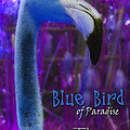 Blue Bird Of Paradise - The Fuzz by Barbara MacPhail