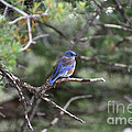 Blue Bird Perched by Susan Herber