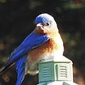 Blue Bird by Stacey Pollio