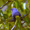 Blue Bird With A Yellow Throat by Jeff Swan