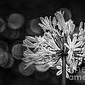 Blue Blooms B/w by Marvin Spates