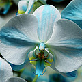 Blue Bow Orchid by William Dey