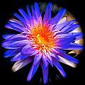 Blue Burst Lily by Tim G Ross