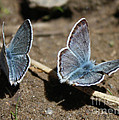 Blue Butterflies by Brandi Maher