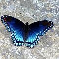 Blue Butterfly by Anne Marie Corbett