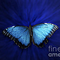 Blue Butterfly Ascending 02 by Thomas Woolworth
