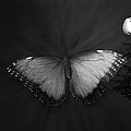 Blue Butterfly Ascending Bw by Thomas Woolworth