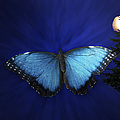 Blue Butterfly Ascending by Thomas Woolworth