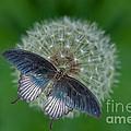 Blue Butterfly by Bahadir Yeniceri