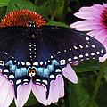 Blue Butterfly by Denise Waldron