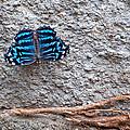 Blue Butterfly Myscelia Ethusa Art Prints by Valerie Garner