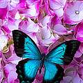 Blue Butterfly On Pink Hydrangea by Garry Gay