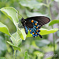 Blue Butterfly by Valerie Loop