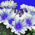 Blue Cactus Flowers by Bruce Nutting