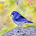 Blue Chaffinch by Donna Walsh