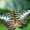Blue Clipper Butterfly by Doug McPherson