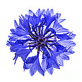 Blue Cornflower Flower by Elena Elisseeva