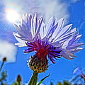 Blue Cornflower With Blue Sky by M Bleichner