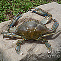 Blue Crab On The Rock by To-Tam Gerwe