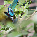 Blue-crowned Motmot by Rebecca Sherman