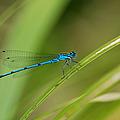 Blue Damselfly by Grigorios Moraitis