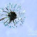 Blue Dandelion by Krissy Katsimbras