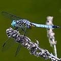 Blue Darter by Kathryn Meyer