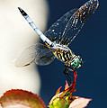 Blue Dasher Dragonfly by Charles Feagans