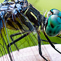 Blue Dasher by Gaurav Singh