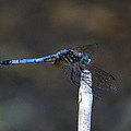 Blue Dasher I. by Chris  Kusik