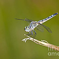 Blue Dasher On The Edge by Bryan Keil