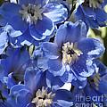 Blue Delphinium 9655 by Terri Winkler