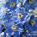 Blue Delphinium 9656 by Terri Winkler