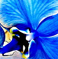 Blue Diamond Orchid Close Up by Danielle  Parent