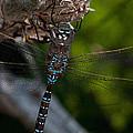Blue Dragon 14 by WB Johnston