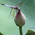 Blue Dragonflies Love Lotus Buds by Sabrina L Ryan