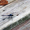 Blue Dragonfly by Aimee L Maher ALM GALLERY