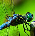 Blue Dragonfly by Jean Wright
