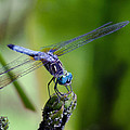Blue Dragonfly by Jim Shackett