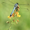 Blue Dragonfly On Yellow Flower by Carol Groenen