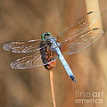 Blue Dragonfly Square by Carol Groenen