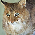 Blue Eyed Bobcat by Jennifer  King
